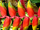 Red banana flower