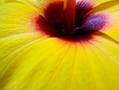 Yellow Hibiscus 4