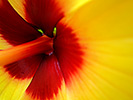 Yellow Hibiscus 13